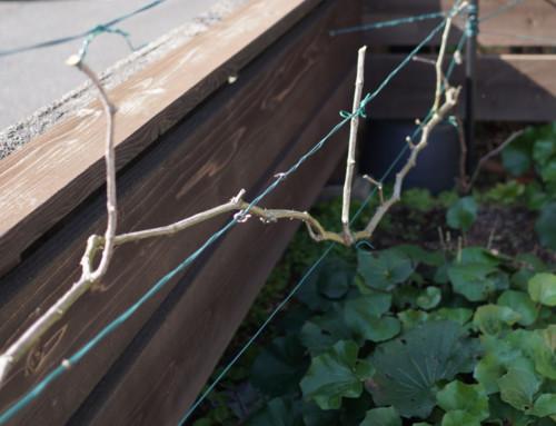 葡萄、はじめての整枝